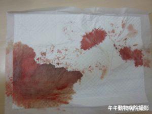 ウサギ血尿 (血・出血・下血)【大阪府堺市の動物病院】