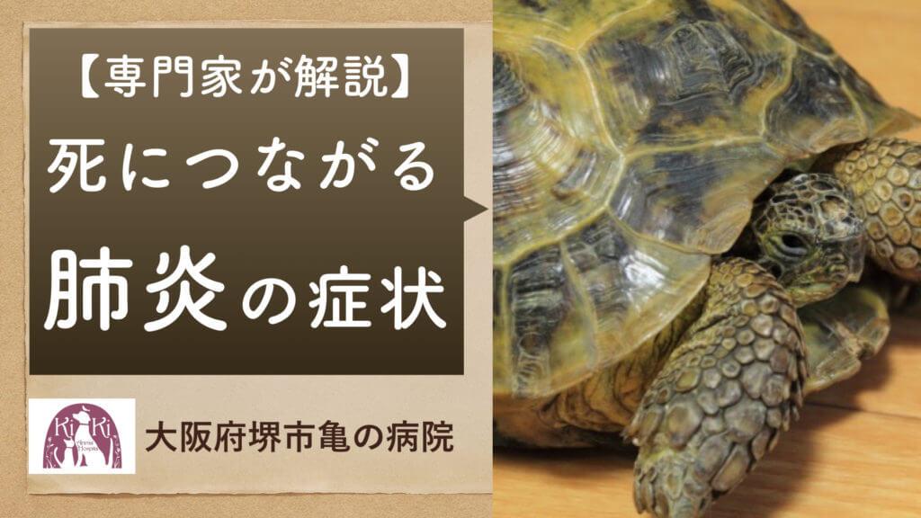 亀 の常在菌による肺炎の症状を 亀の病院 が解説:大阪 堺 のキキ動物病院