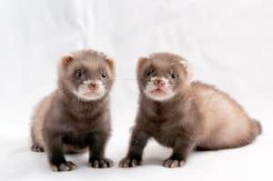 フェレット ブログ 大阪 堺 の キキ 動物病院