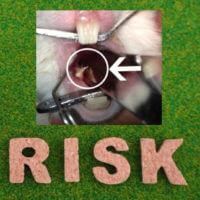 不正咬合 のうさぎ 臼歯の歯切りを無麻酔ですることのメリット・デメリットについて【うさぎ専門治療 キキ動物病院】