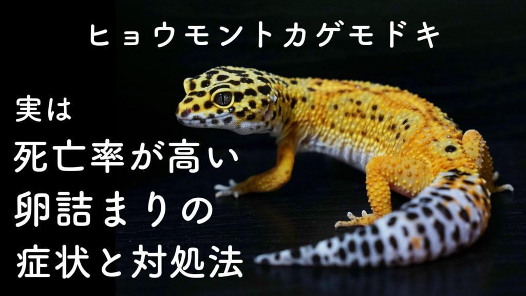 ヒョウモントカゲモドキ (レオパ)の卵詰まりの対処法【爬虫類の病院】